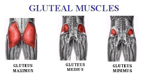 Cấu trúc của cơ mông gồm 3 phần