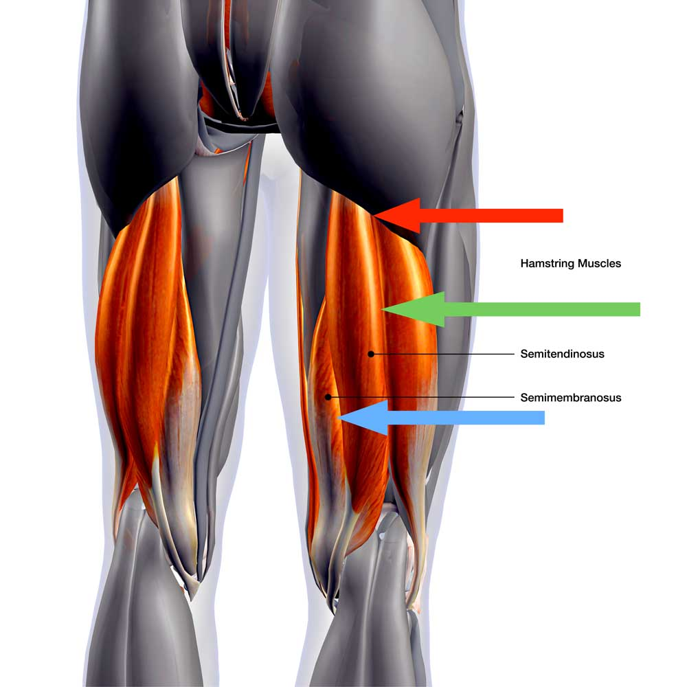 Bio Arc Leg Curl được sử dụng để tập luyện cho vùng cơ đùi sau (hamstring)