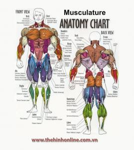 Muscle Anatomy Chart, sơ đồ vị trí các nhóm cơ bắp trong thể hình
